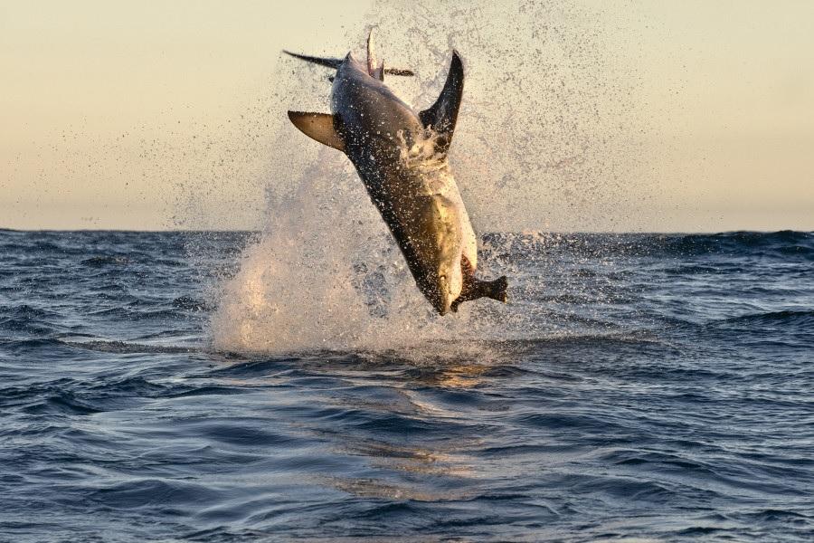 Питер Верхуг Большая белая акула